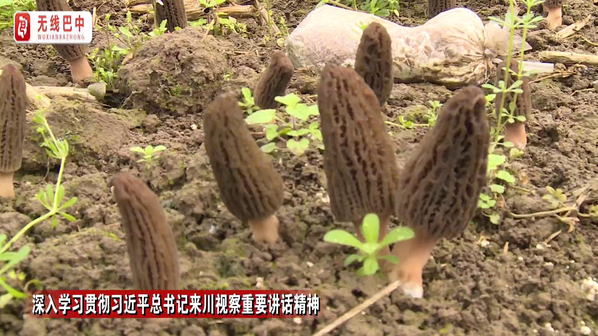 巴州区孟家村:羊肚菌的春天