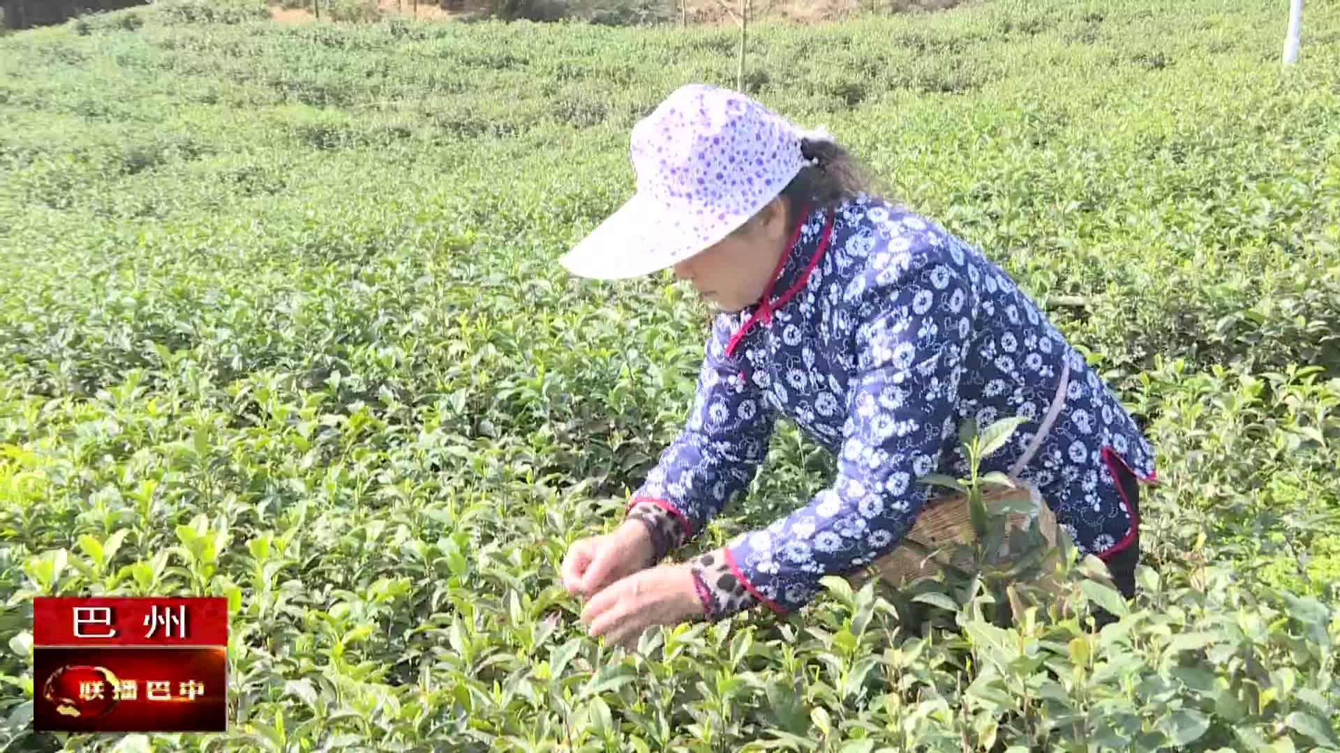 巴州区:茶园叠翠露新芽 千亩茶园采摘忙