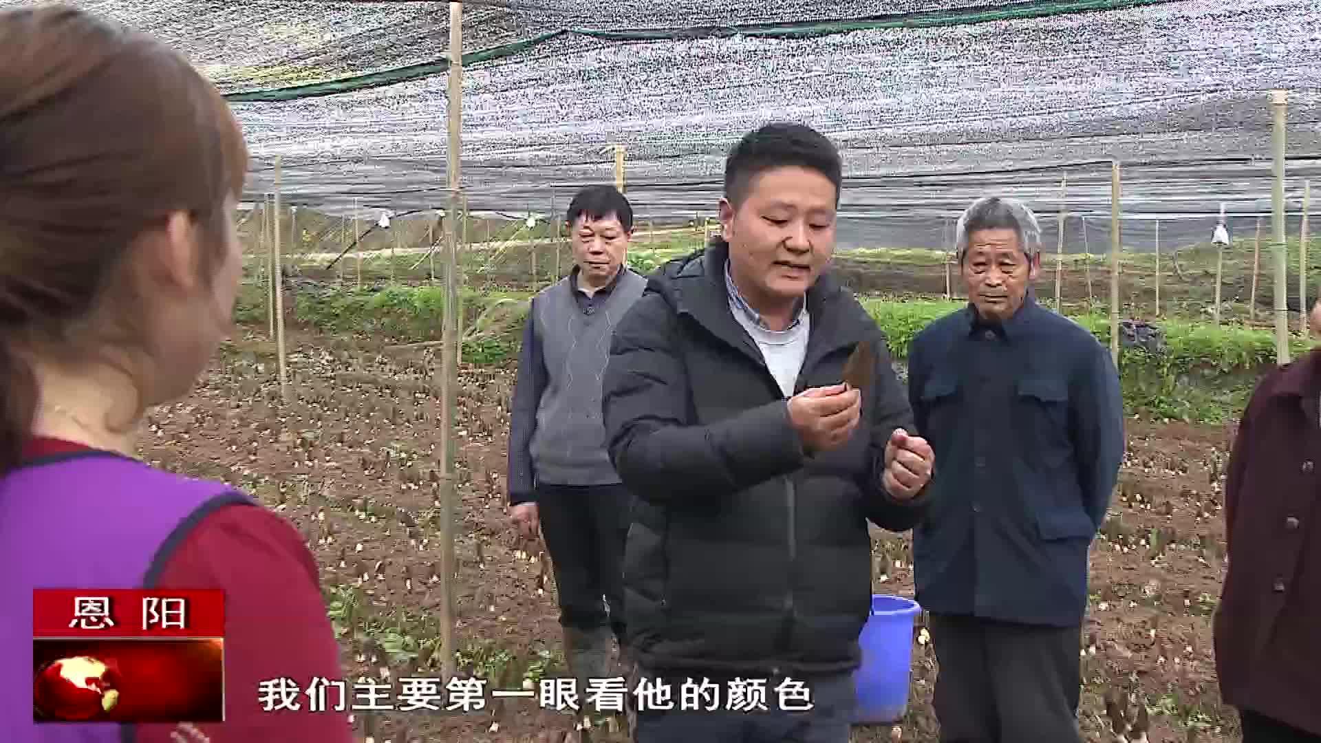 恩阳区:羊肚菌即将进入收获期
