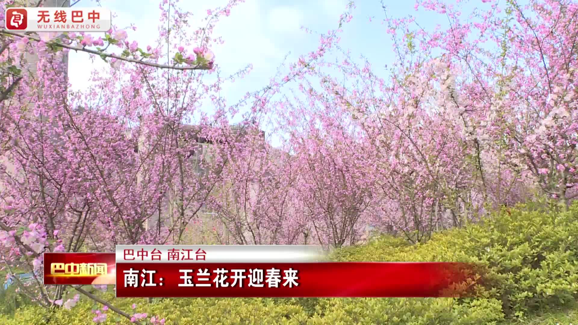 南江:玉兰花开迎春来